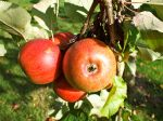 Apples ripening in the orchard